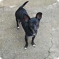 Adopt A Pet :: Nicky - Lodi, CA