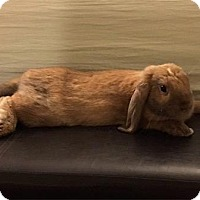 Adopt A Pet :: Lola Bun - Scotts Valley, CA