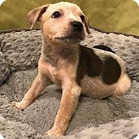 "Adopt A Pet :: Redwood ""Red"" - Garland, TX"