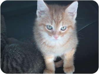 Domestic Shorthair Kitten for adoption in Jeffersonville, Indiana - Jingle