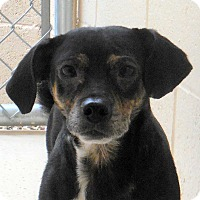 Adopt A Pet :: Ben - Wickenburg, AZ