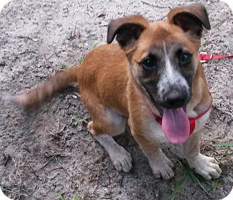 Australian Shepherd/German Shepherd Dog Mix Puppy for adoption in East Hartford, Connecticut - Bananas
