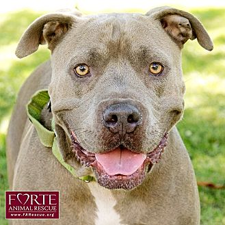 American Staffordshire Terrier Mix Dog for adoption in Marina del Rey, California - Valley