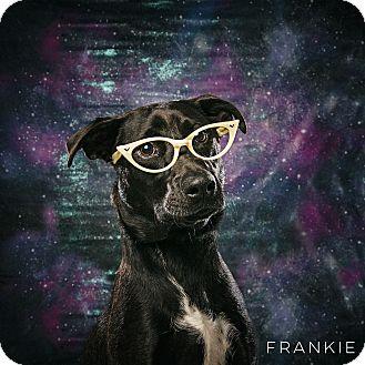 Labrador Retriever Mix Dog for adoption in Houston, Texas - Frankie Girl!
