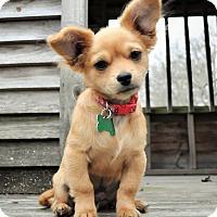 Adopt A Pet :: Dino - Westport, CT