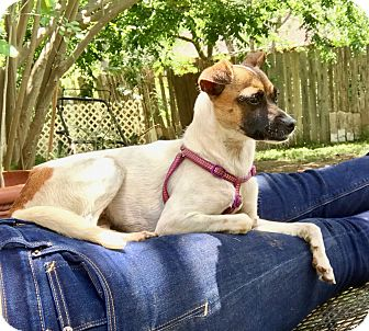 Rat Terrier Mix Puppy for adoption in Vancouver, British Columbia - Emily