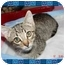 Photo 1 - Domestic Shorthair Kitten for adoption in KANSAS, Missouri - Bugsy