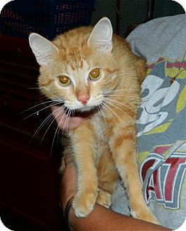 Domestic Shorthair Cat for adoption in Troy, Ohio - Morris