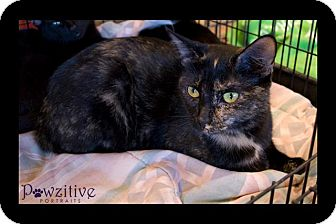 Domestic Mediumhair Cat for adoption in Scottsdale, Arizona - Kit Kat- courtesy post