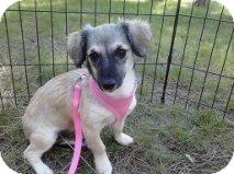Chihuahua/Dachshund Mix Dog for adoption in Mesa, Arizona - Sabrina