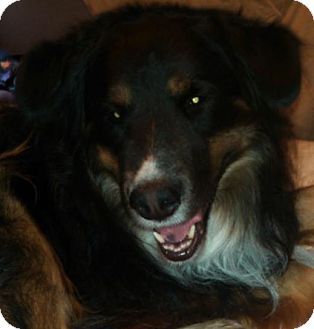 Australian Shepherd Mix Dog for adoption in Scottsdale, Arizona - Tipper