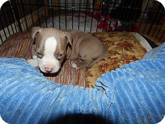 American Pit Bull Terrier Mix Puppy for adoption in San Diego, California - Sapphire