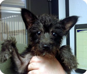 Scottie, Scottish Terrier/Toy Poodle Mix Puppy for adoption in Greencastle, North Carolina - Alexis
