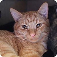 Adopt A Pet :: Rudy (Loving Lapsitter) - Arlington, VA