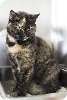 Domestic Shorthair Cat for adoption in Brick, New Jersey - Rita