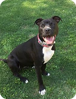 American Pit Bull Terrier/Labrador Retriever Mix Dog for adoption in Chattanooga, Tennessee - Bentley