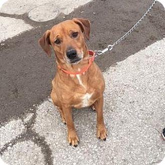 Labrador Retriever/Shepherd (Unknown Type) Mix Dog for adoption in Berea, Ohio - Bob