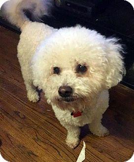 Bichon Frise Dog for adoption in Farmington Hills, Michigan - Luke - Adopted!
