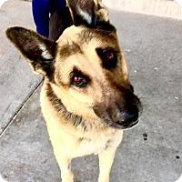 Adopt A Pet :: Nine - Las Vegas, NV