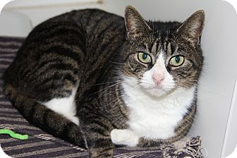 Domestic Shorthair Cat for adoption in Greensboro, North Carolina - Gina