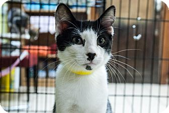 Domestic Shorthair Cat for adoption in Byron Center, Michigan - Tori