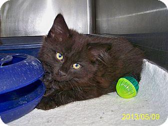 Domestic Longhair Kitten for adoption in Dover, Ohio - Huston