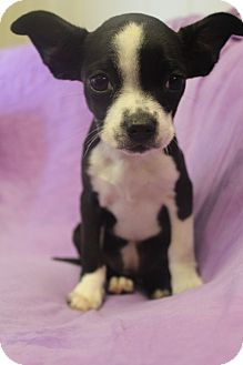 Boston Terrier Mix Puppy for adoption in Wytheville, Virginia - Glider