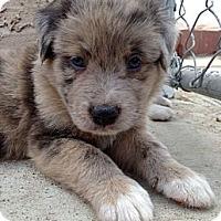 Adopt A Pet :: DAKOTA - Inglewood, CA
