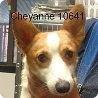 Adopt A Pet :: Cheyanne - baltimore, MD