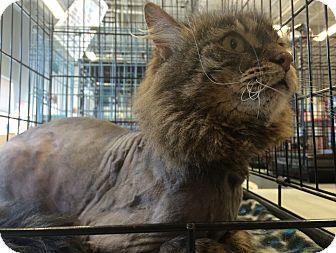 Maine Coon Cat for adoption in Toledo, Ohio - Griffin