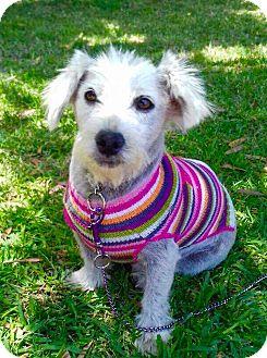 Maltese/Terrier (Unknown Type, Small) Mix Dog for adoption in Corona, California - SOPHIA