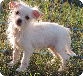 Chihuahua/Toy Poodle Mix Puppy for adoption in Anderson, South Carolina - Lola