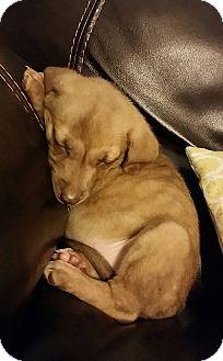 Labrador Retriever/Shepherd (Unknown Type) Mix Puppy for adoption in Washington DC, D.C. - Georgia