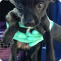 Adopt A Pet :: FRANCOIS - Los Angeles, CA