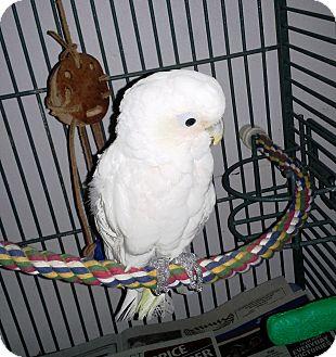 Cockatoo for adoption in Lenexa, Kansas - Angel