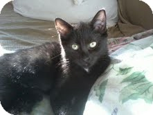 Domestic Shorthair Cat for adoption in East Brunswick, New Jersey - Allie