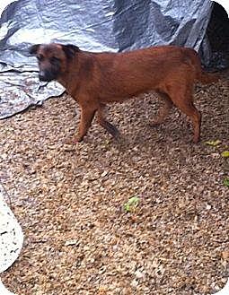 Labrador Retriever/Golden Retriever Mix Dog for adoption in Baton Rouge, Louisiana - Lil Bear