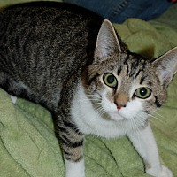 Adopt A Pet :: Striper - Salem, WV