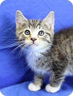 Domestic Shorthair Kitten for adoption in Winston-Salem, North Carolina - Kirito