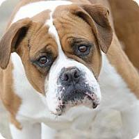 Adopt A Pet :: Amy - Colorado Springs, CO