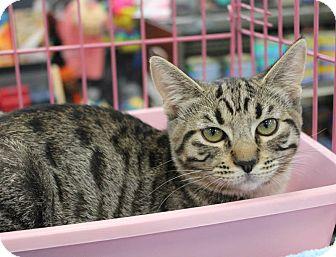 Bengal Kitten for adoption in Studio City, California - Freddy & Fiona