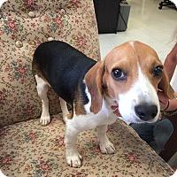 Adopt A Pet :: Bentley- Adoption PENDING - Hillsboro, IL