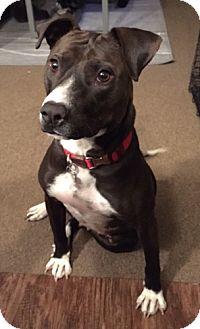Labrador Retriever Mix Dog for adoption in Fort Collins, Colorado - Gina