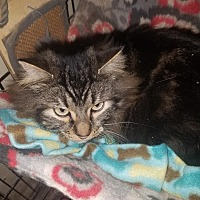 Domestic Longhair Cat for adoption in Walla Walla, Washington - Clyde