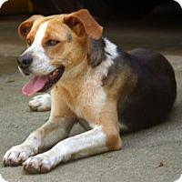 Adopt A Pet :: Bridges Happy, Smart and Devoted Friend - Rowayton, CT
