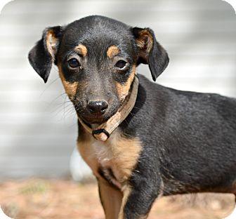 Rat Terrier Mix Puppy for adoption in Glastonbury, Connecticut - Tidas