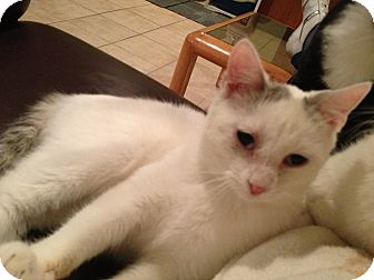 Domestic Shorthair Cat for adoption in East Hanover, New Jersey - Storm