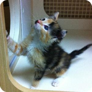 Domestic Shorthair Kitten for adoption in Gilbert, Arizona - Munchkin