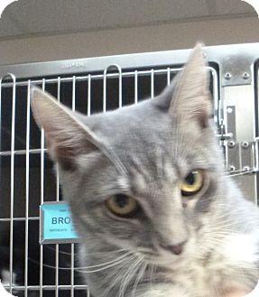 Domestic Shorthair Kitten for adoption in St. Petersburg, Florida - Sugar Plum