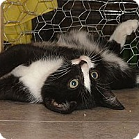 Domestic Shorthair Cat for adoption in Barnegat, New Jersey - Bongo